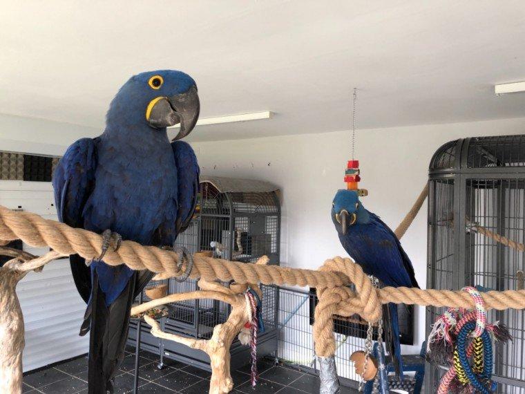 hyacinth-macaw-male-5-years-old-tame-5d03770525ba3.jpg